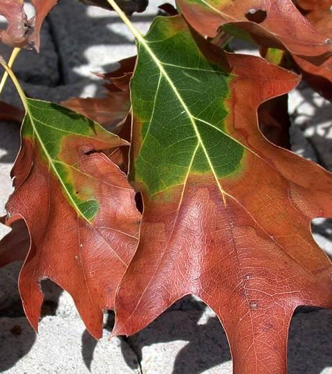 leaf scorch yellow reddisah band bucks county