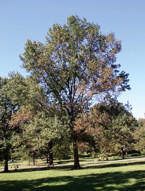 bacterial leaf scorch oak tree bucks county