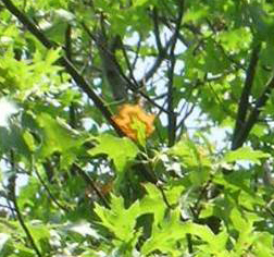 bacterial leaf scorch early detection bucks county