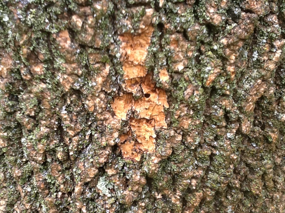 Emerald Ash Borer Warrington PA - thousands of D shaped exit wounds where the females emerged to either lay more eggs further down the tree, or fly off to other Ash trees and lay eggs in the tops of those trees.