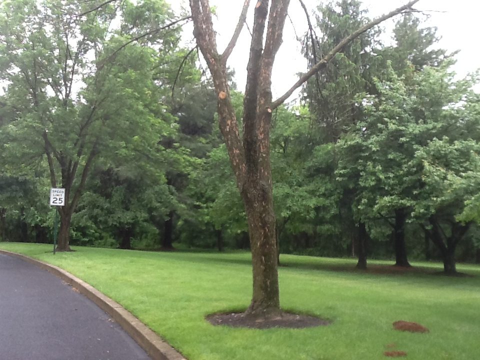 Emerald Ash Borer Warrington PA - trees suffered three years of activity by the time these pictures were taken.