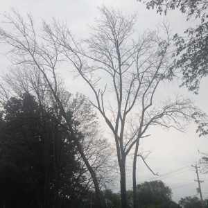 Emerald Ash Borer Bucks County PA